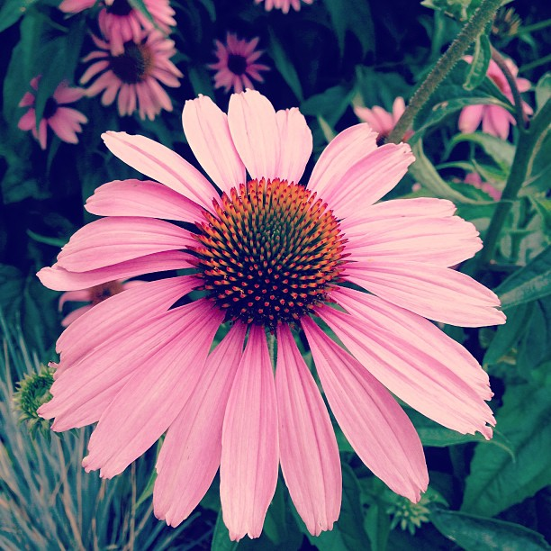 Echinacea, taken outside our employee parking garage.