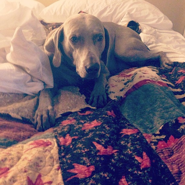 My silly weimaraner, Bentley.